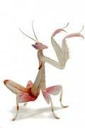 Орхидейный богомол