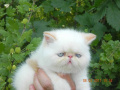Красная поинтовая кошечка продана в Молдавию