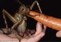 Самое тяжелое насекомое в мире