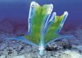 Парящий осьминог или попончатый осьминог