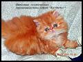 Персидская кошечка красная мраморная дата рождения 11 апреля2011 г продается