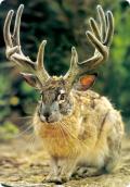 Зайцелоп – Рогатый заяц