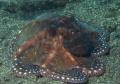 Octopus-cyanea9
