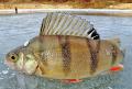 1511. Тандем для окуня или Мушка для зимней рыбалки