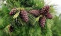 Эфирные масла хвойных деревьев.