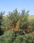 Облепиха крушиновидная (плоды) Hippohae rhamnaoides.