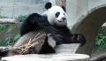 Как панда любит бамбук