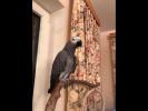 Попугай Жорик, вечерний разговор с хозяйкой. Жако продолжает раскрывать свои таланты