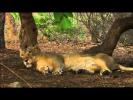 Тайны дикой природы Индии - Львы пустыни