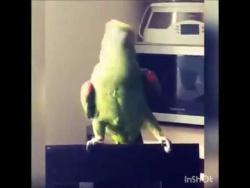 Дикий танец попугая