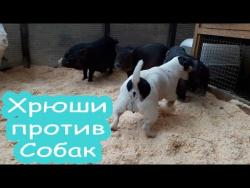 Самые смешные моменты животных|смешные и милые животные|приколы 2016|хрюши против собаки dog vs pig