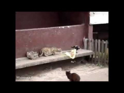 Наглая ворона достает котов