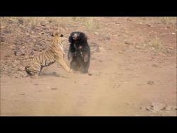 Схватка тигра и медведя-губача