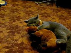 Британский кот Zigmar Silvery Snow