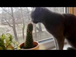 Кот гурман завтракает КАКТУСОМ /The cat eats the prickly cactus