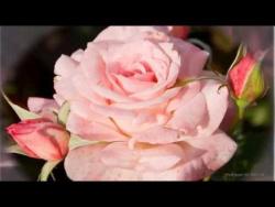 Роза - королева цветов. Красивая музыка релакс, саксофон. Podryga-on-line.ru