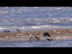 Пучежские вороны-моржи