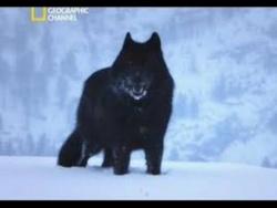 Восхождение Чёрного Волка . Документальный Фильм National Geographic