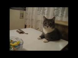 Наглый кот ворует конфеты.