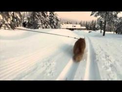 Jesper the cat tows skier