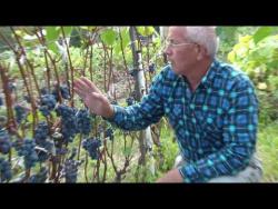Пучеж - там где зреет виноград