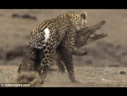 Amazing leopard Kill / Full documentary wildlife nature 2013 new