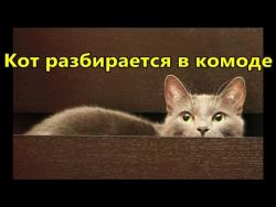 Прикол - смешной кот разбирается в комоде. Смешное видео с животными.