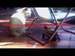 Коварное нападение черепахи на кота