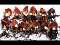 Лилия, размножение чешуйками. 100 новых луковиц из одной !