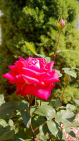 Розы, Май 30, 2013