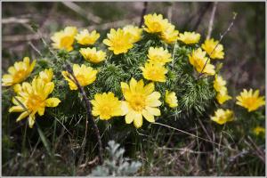 Адонис-горицвет весенний