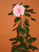гибиску-розовый-3