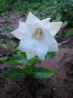 Платикодон белый махровый