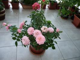 Мои балконные розы.
