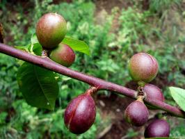 Чьи это плоды?