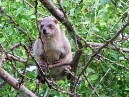 Капский даман на дереве (или Скалистый кролик)