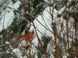 Прилетел полакомиться семенами русской зимы красавец.