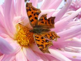 Бабочка и георгин