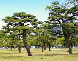 Японские сосны (или кедры)