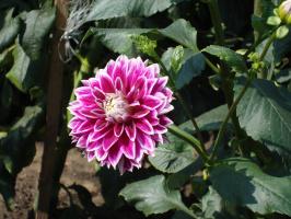 Ещё один всем знакомый цветок