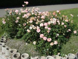 Розы бывают очень разные
