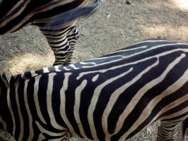 Отличаются ли зебры рисунком на шкуре?