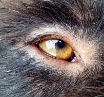 Что общего у радужки глаза и ириса?