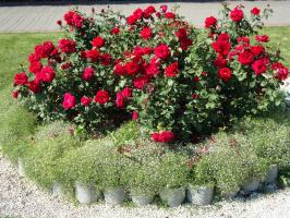 Это парковые розы