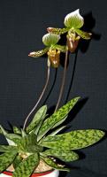 Paphiopedilum hybr.