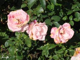 Несрезанные розы тоже вянут