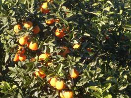 Солнце в каждой апельсинке