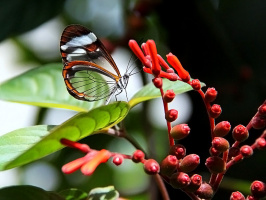 Диэтрия Маршал - дневная бабочка с прозрачными крыльями