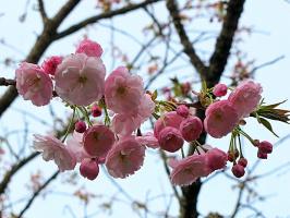 Цветущая ветка японской сливы
