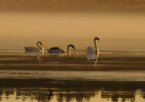 Закат. Лебеди.